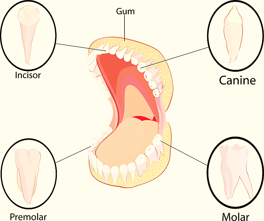 How many teeth do humans have 2